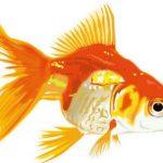 和金、琉金、らんちゅう飼育!!金魚の飼育方法と注意点
