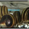 苔取り貝アンモナイトスネール(ホルンスネイル)の飼育方法や繁殖方法