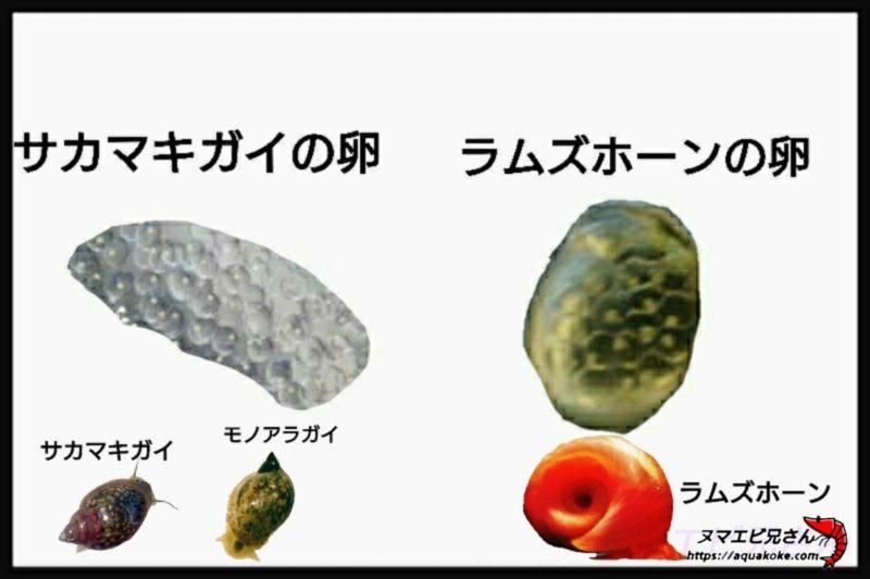 サカマキガイの卵 ラムズホーンの卵