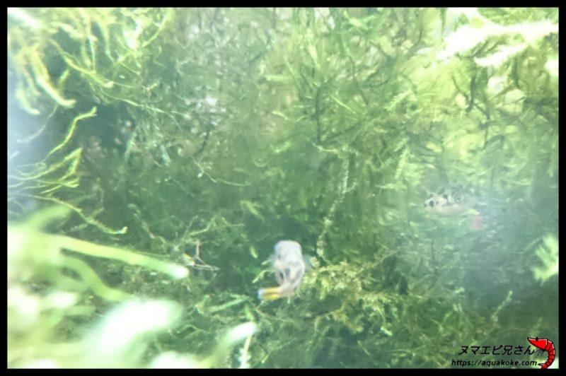 アベニーパファーの生態系