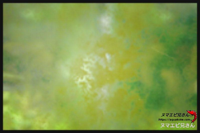 茶ゴケ 珪藻類