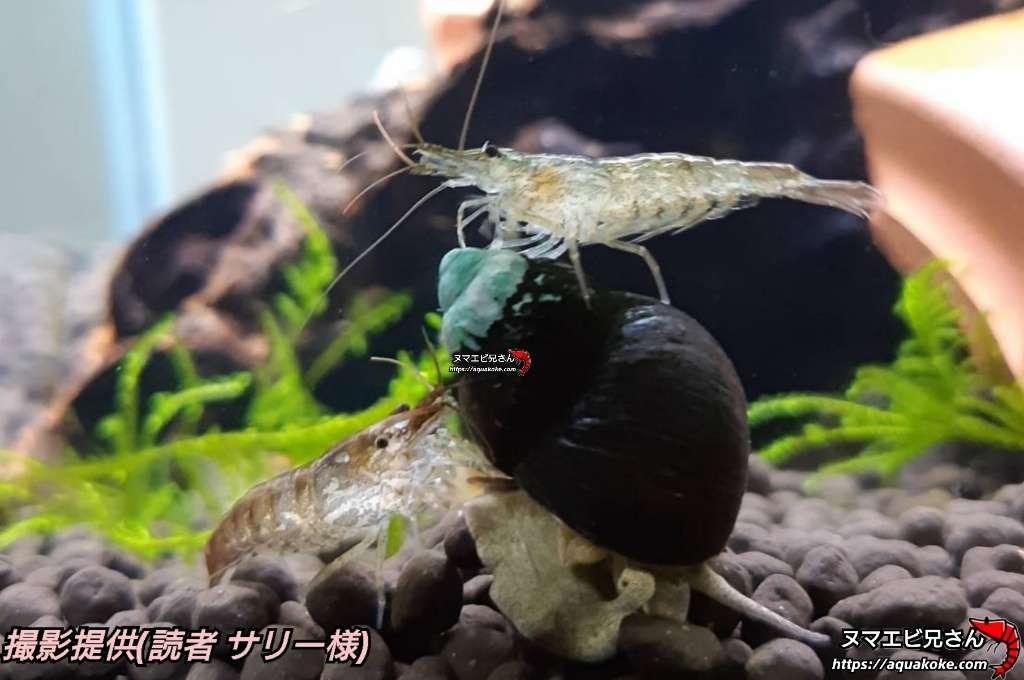 ミナミヌマエビとヒメタニシ混泳