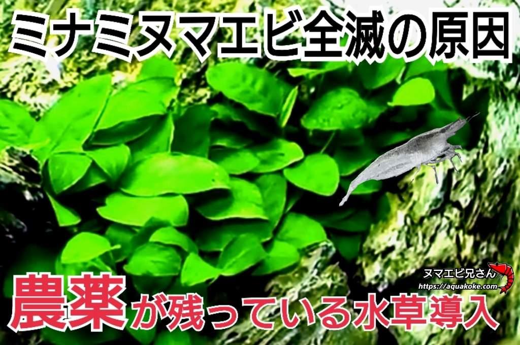 ミナミヌマエビ全滅 農薬がついた水草